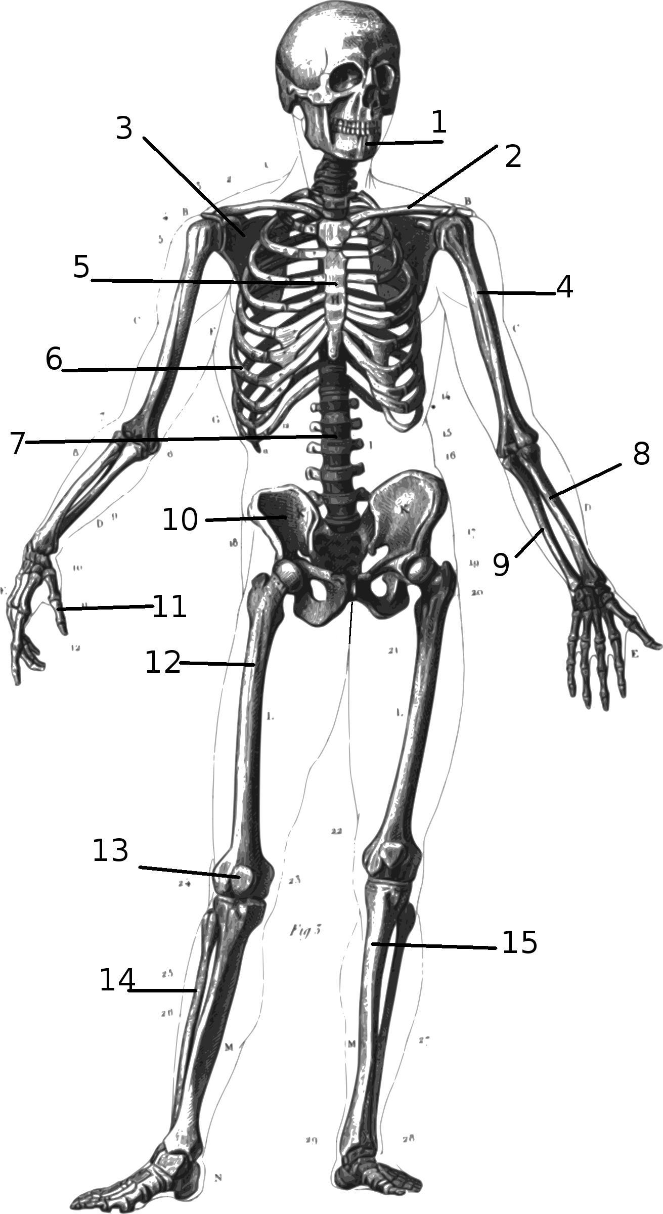 Wichtige Knochen des Menschen